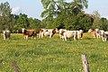 Vaches allée Pré Brus St Cyr Menthon 16.jpg
