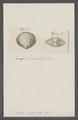 Venus cyclolites - - Print - Iconographia Zoologica - Special Collections University of Amsterdam - UBAINV0274 077 11 0022.tif
