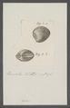 Venus spec. - - Print - Iconographia Zoologica - Special Collections University of Amsterdam - UBAINV0274 077 11 0016.tif