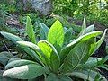 Verbascum thapsus (5814085920).jpg