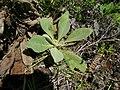 Verbascum thapsus leaf3 (16192890077).jpg