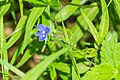 Veronica chamaedrys in Aveyron (2).jpg