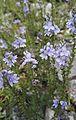 Veronica prostrata L. (Scrophulariaceae)-1F.jpg