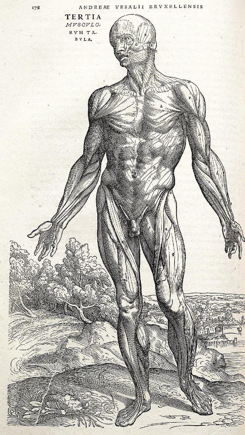 Vesalius Fabrica p178.jpg