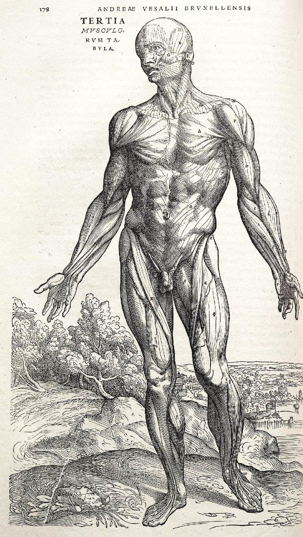 Vesalius Fabrica p178