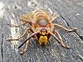 Vespa crabro (Vespidae) (Hornet) - (imago), Elst (Gld), the Netherlands.jpg