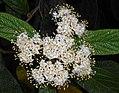 Viburnum rhytidophyllum 2016-05-17 0797b.jpg