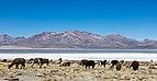 Vicuñas (Vicugna vicugna), Laguna de Salinas, Arequipa, Perú, 2015-08-02, DD 40.JPG