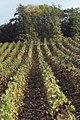 Vigne Pinot Noir (Champagne) Cl.J.Weber (23309782449).jpg