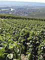 Vigne Pinot noir(Vue sur Cumières) Cl.J.Weber03 (23309743559).jpg