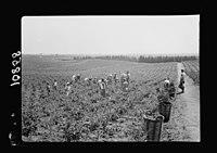 Vintage activities at Richon-le-Zion, Aug. 1939. Gen(eral) view of vineyards S.W. of Richon during grape picking LOC matpc.19749.jpg