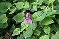 Viola adunca kz01.jpg
