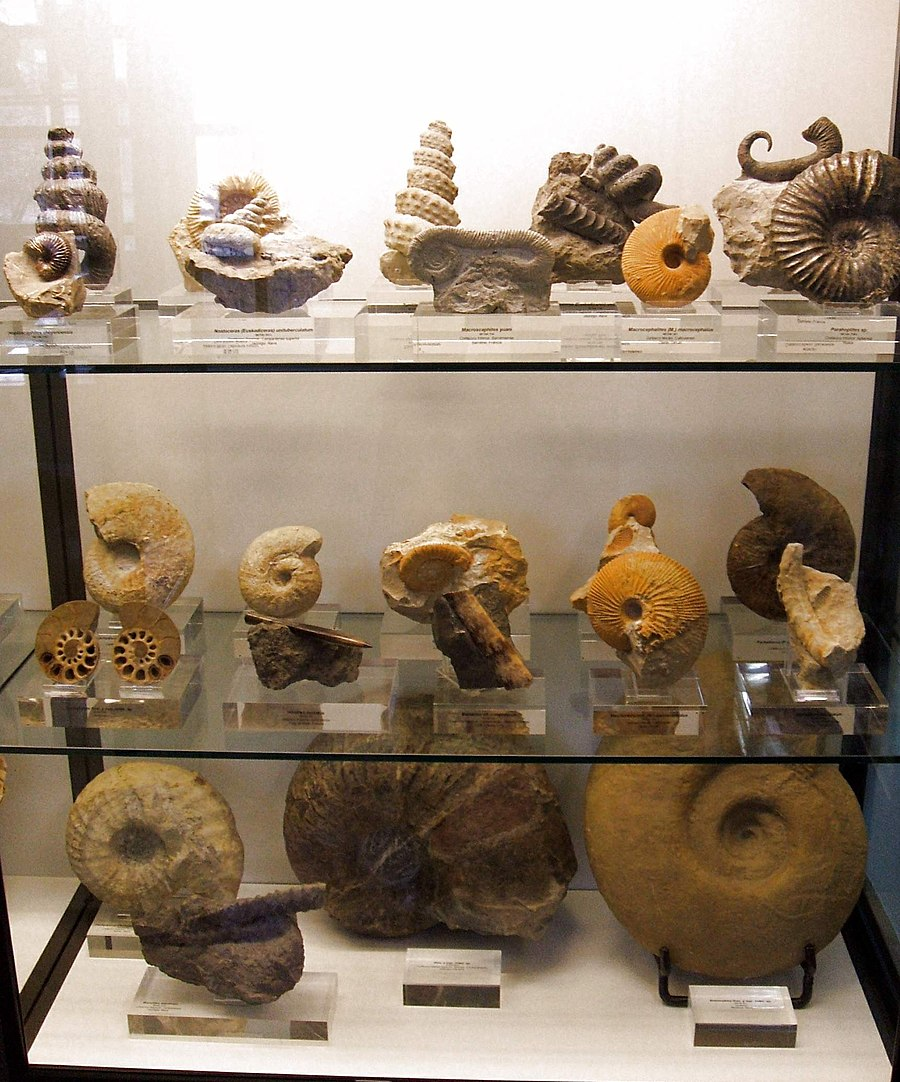 Ammonite Vs Nautilus What S The Difference Ask