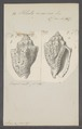 Voluta musica - - Print - Iconographia Zoologica - Special Collections University of Amsterdam - UBAINV0274 087 04 0019.tif