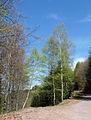 Vosges du Nord-Bouleaux.jpg