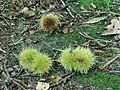 Vruchten van tamme kastanje (Castanea sativa).JPG