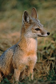 https://upload.wikimedia.org/wikipedia/commons/thumb/a/ad/Vulpes_macrotis_mutica_sitting.jpg/220px-Vulpes_macrotis_mutica_sitting.jpg