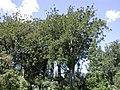 Waiau Kauri grove.jpg