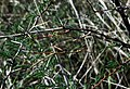 Walkingstick, Males (251115944).jpg