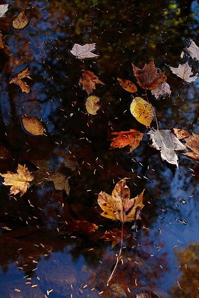 File:Water-creek-leaves-fall - West Virginia - ForestWander.jpg