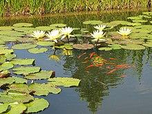 Poisson rouge wikip dia for Entretien bassin poisson rouge