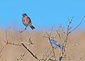 Western Bluebirds (Sialia mexicana) at Arastradero Preserve 2011-08-21.jpg
