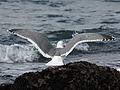 Western Gull HMB RWD4.jpg