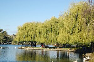 Western Springs willow.jpg