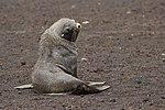 Whalers Bay Deception Island Antarctica Fur Seal 4 (40372012093).jpg