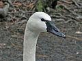 Whistling Swan RWD2.jpg