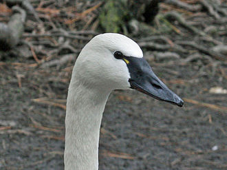 Tundra swan - Whistling swan with yellow patch at base of bill