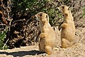 White-Tailed Prairie Dogs on Seedskadee National Wildlife Refuge (27612675036).jpg