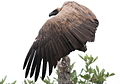 White-backed Vulture, Gyps africanus, at Kruger National Park (13911799523).jpg