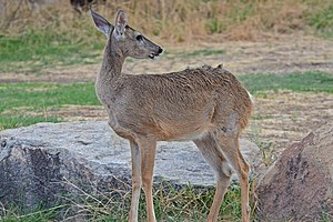 White-tailed deer Big Bend.jpg