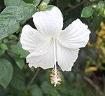 White Hibiscus (22797786938).jpg