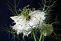 White Nigella (9140140669).jpg