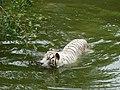 White Tiger Swimming in water.jpg