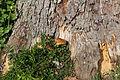 Wien-Penzing - Naturdenkmal 199 - Zu Füßen der Baumhasel (Corylus colurna) beim Europahaus.jpg