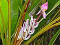 Wild Banana (Musa campestris) inflorescence (15549388566).jpg