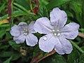 Wild Petunia Flower 5.JPG