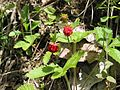Wild Strawberry - panoramio.jpg
