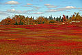 Wild blueberry fields in the fall near Parrsboro (1).jpg
