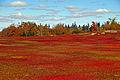 Wild blueberry fields in the fall near Parrsboro (1).jpg