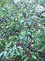 Wild cherries 3.JPG
