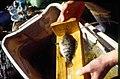 Wild trout project e walker river bridgeport0120 Sacramento perch (25673016083).jpg