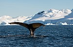 Wilhelmina Bay Antarctica Humpback Whale 7 (40371413513).jpg