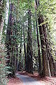 Williams Grove - Humboldt Redwoods State Park - DSC02411.JPG