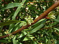 Willow-leaved Hakea.jpg