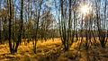 Wittmoor Birken Gegenlicht Herbst 2014-2.jpg