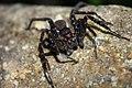 Wolf Spider (5780833322).jpg